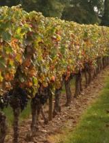 Domaine Lagrezette vines